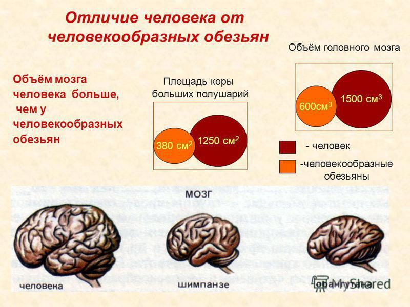 -человекообразные обезьяны - человек 1500 см 3 1250 см 2 Отличие человека от человекообразных обезьян Объём мозга человека больше, чем у человекообразных обезьян 380 см 2 600 см 3 Объём головного мозга Площадь коры больших полушарий