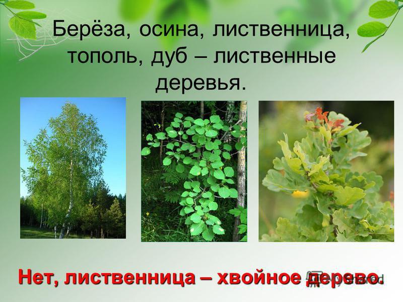 Берёза, осина, лиственница, тополь, дуб – лиственные деревья. Нет, лиственница – хвойное дерево.