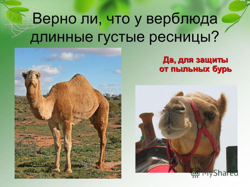 Верно ли, что у верблюда длинные густые ресницы? Да, для защиты от пыльных бурь