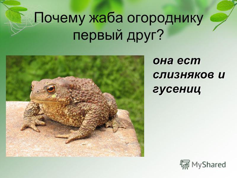 Почему жаба огороднику первый друг? она ест слизняков и гусениц