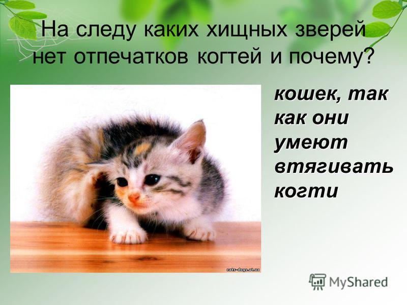 На следу каких хищных зверей нет отпечатков когтей и почему? кошек, так как они умеют втягивать когти
