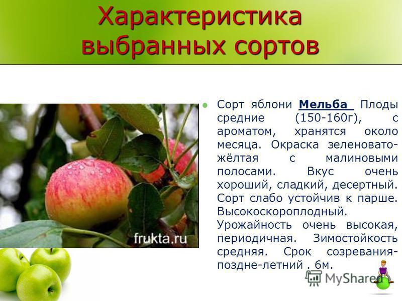 Характеристика выбранных сортов Сорт яблони Мельба Плоды средние (150-160 г), с ароматом, хранятся около месяца. Окраска зеленовато- жёлтая с малиновыми полосами. Вкус очень хороший, сладкий, десертный. Сорт слабо устойчив к парше. Высокоскороплодный