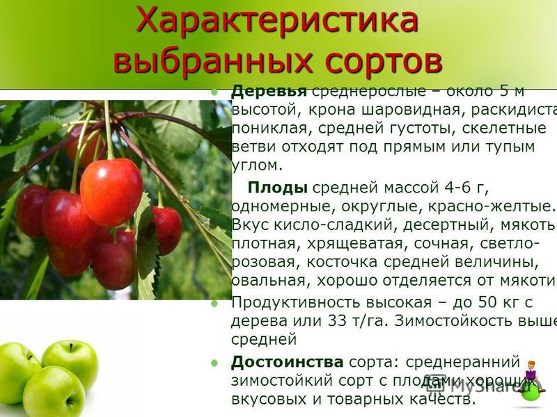 Характеристика выбранных сортов Деревья среднерослые – около 5 м высотой, крона шаровидная, раскидистая, пониклая, средней густоты, скелетные ветви отходят под прямым или тупым углом. Плоды средней массой 4-6 г, одномерные, округлые, красно-желтые. В