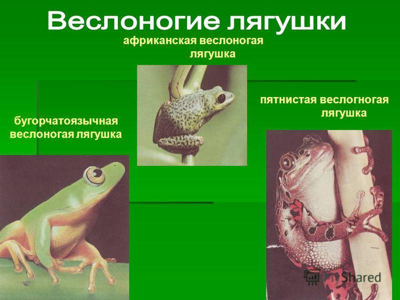 бугорчатоязычная веслоногая лягушка африканская веслоногая лягушка пятнистая веслоногая лягушка