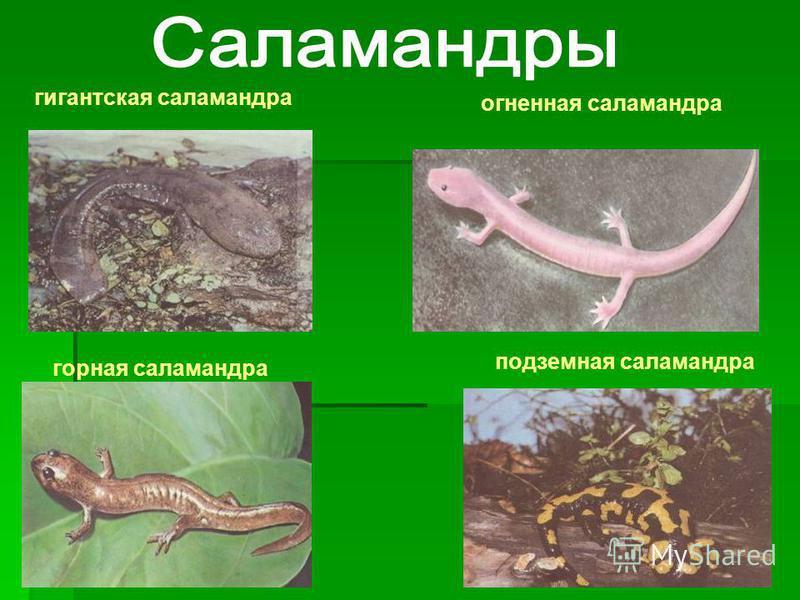 гигантская саламандра горная саламандра подземная саламандра огненная саламандра