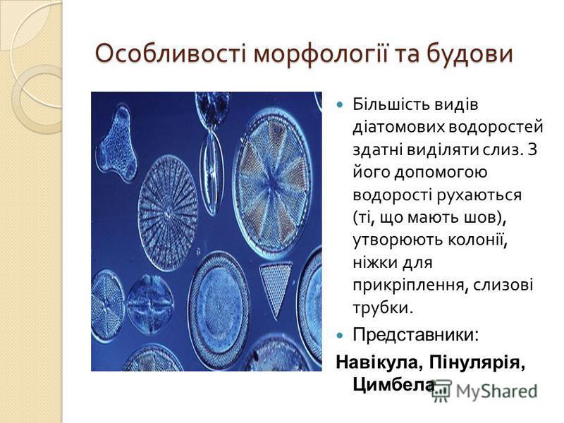 Особливості морфології та будови Більшість видів діатомових водоростей здатні виділяти слиз. З його допомогою водорості рухаються ( ті, що мають шов ), утворюють колонії, ніжки для прикріплення, слизові трубки. Представники: Навікула, Пінулярія, Цимб