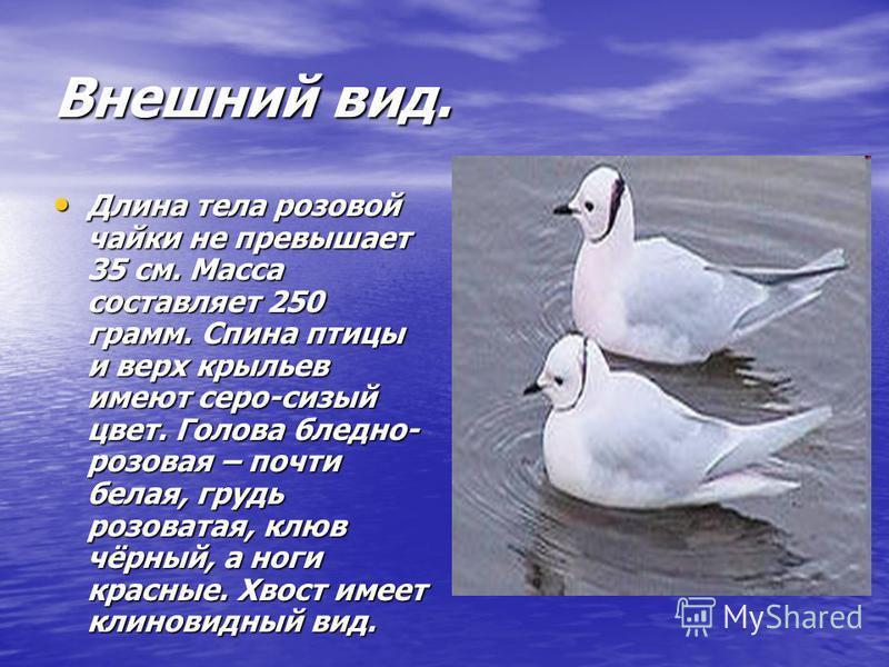 Внешний вид. Длина тела розовой чайки не превышает 35 см. Масса составляет 250 грамм. Спина птицы и верх крыльев имеют серо-сизый цвет. Голова бледно- розовая – почти белая, грудь розоватая, клюв чёрный, а ноги красные. Хвост имеет клиновидный вид. Д