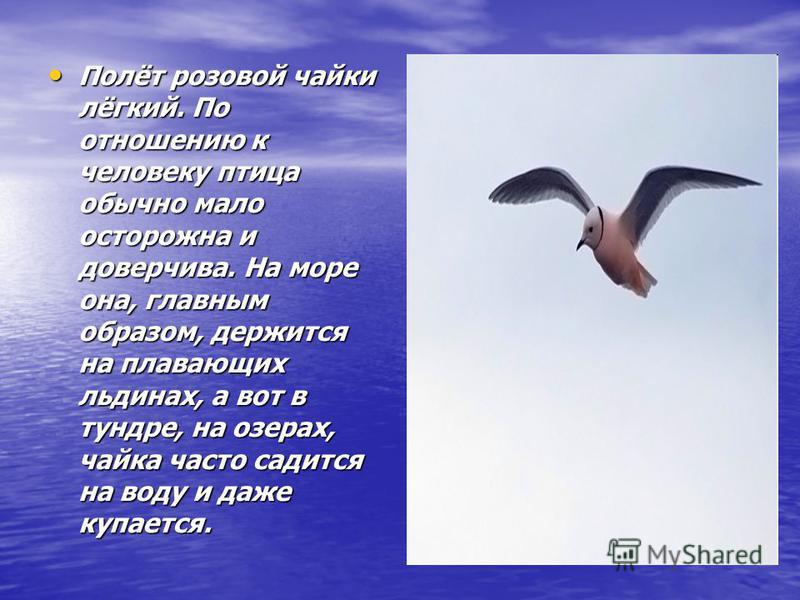 Полёт розовой чайки лёгкий. По отношению к человеку птица обычно мало осторожна и доверчива. На море она, главным образом, держится на плавающих льдинах, а вот в тундре, на озерах, чайка часто садится на воду и даже купается. Полёт розовой чайки лёгк