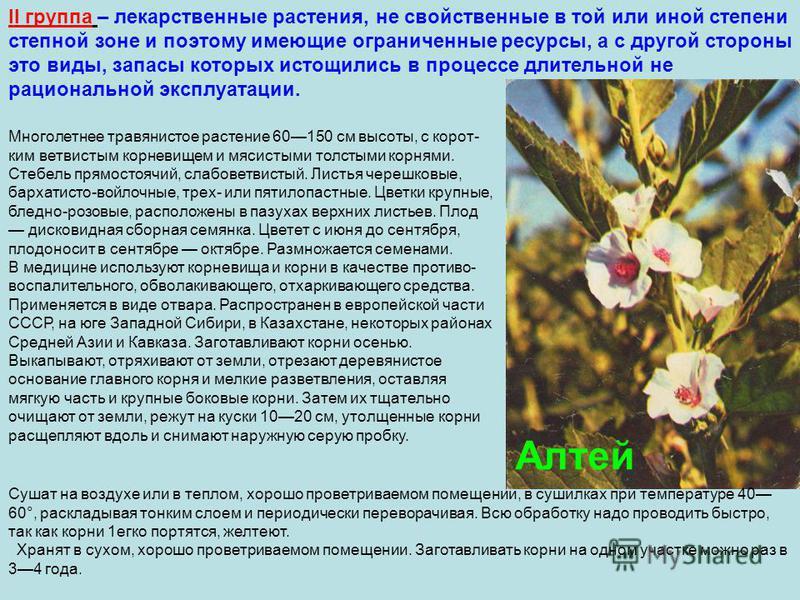 II группа – лекарственные растения, не свойственные в той или иной степени степной зоне и поэтому имеющие ограниченные ресурсы, а с другой стороны это виды, запасы которых истощились в процессе длительной не рациональной эксплуатации. Алтей Многолетн