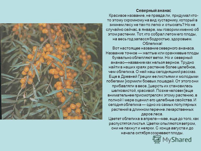 Северный ананас Красивое название, не правда ли, придумал кто- то этому скромному на вид кустарнику, который в зимнем лесу не так-то легко и отыскать? Но не случайно сейчас, в январе, мы говорим именно об этом растении. Тот, кто собрал летом его плод