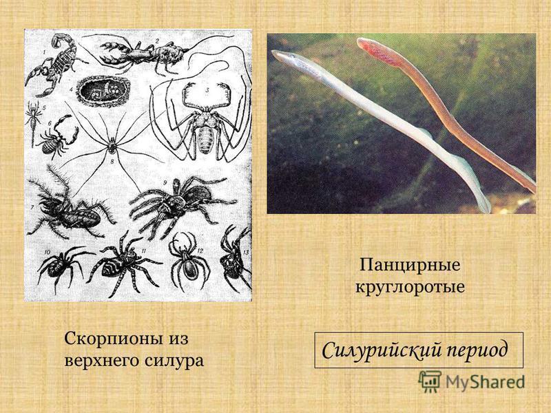 Панцирные круглоротые Скорпионы из верхнего силура Силурийский период