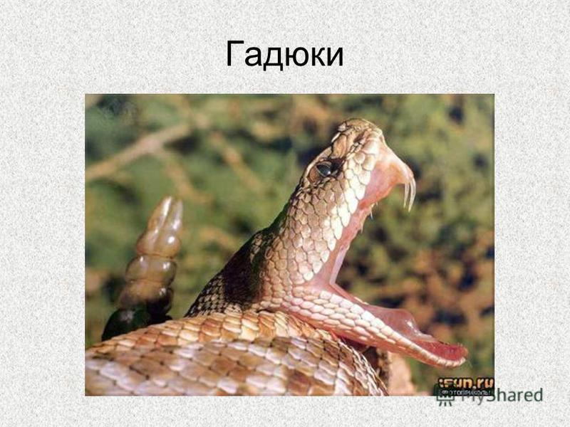 Гадюки