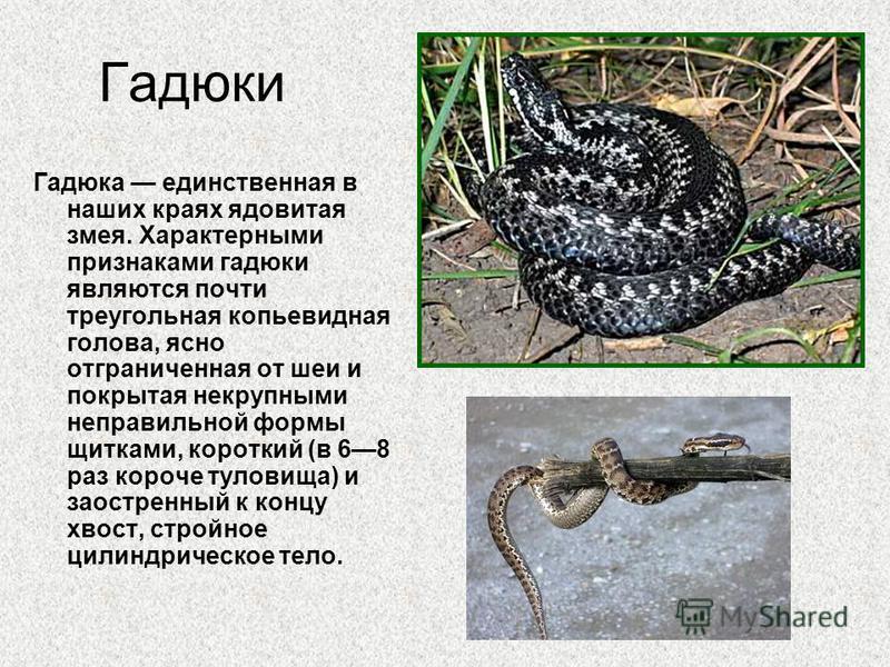 Гадюка единственная в наших краях ядовитая змея. Характерными признаками гадюки являются почти треугольная копьевидная голова, ясно отграниченная от шеи и покрытая некрупными неправильной формы щитками, короткий (в 68 раз короче туловища) и заостренн