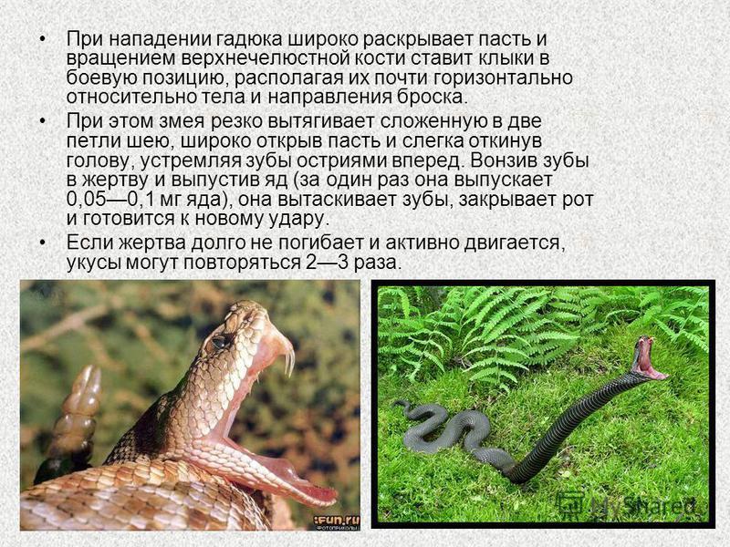 При нападении гадюка широко раскрывает пасть и вращением верхнечелюстной кости ставит клыки в боевую позицию, располагая их почти горизонтально относительно тела и направления броска. При этом змея резко вытягивает сложенную в две петли шею, широко о