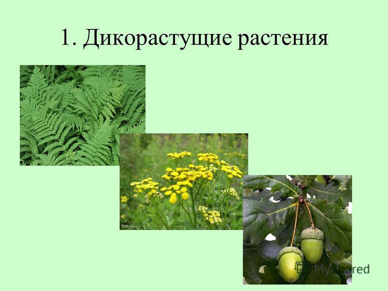 1. Дикорастущие растения