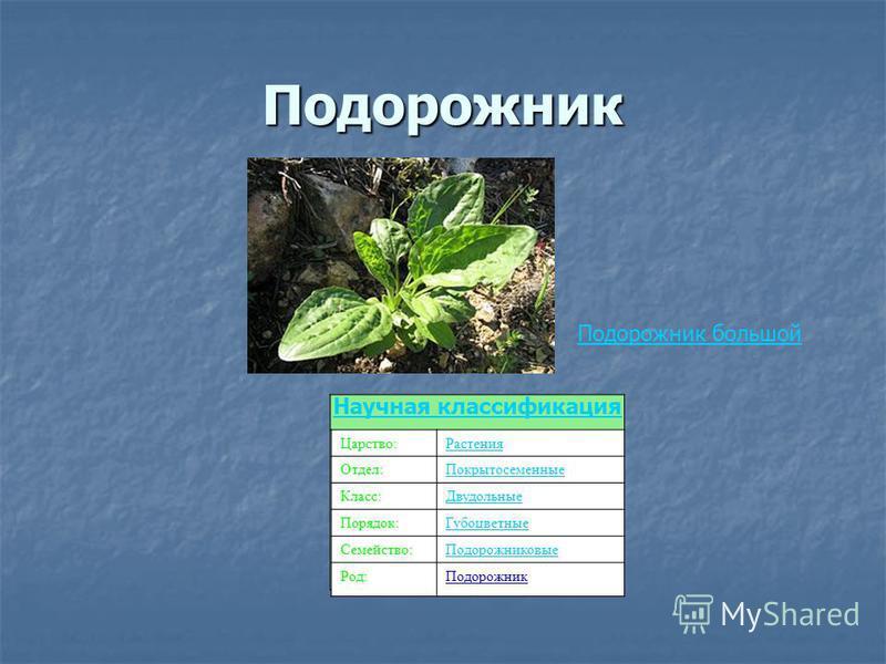 Подорожник Подорожник большой Царство:Растения Отдел:Покрытосеменные Класс:Двудольные Порядок:Губоцветные Семейство:Подорожниковые Род:Подорожник Научная классификация