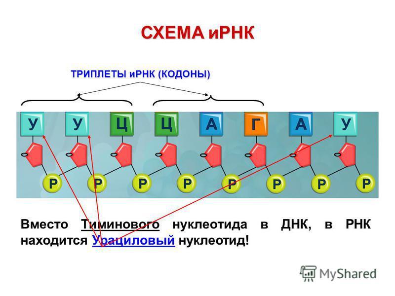 СХЕМА иРНК ТРИПЛЕТЫ иРНК (КОДОНЫ) ТРИПЛЕТЫ иРНК (КОДОНЫ) Вместо Тиминового нуклеотида в ДНК, в РНК находится Урациловый нуклеотид!
