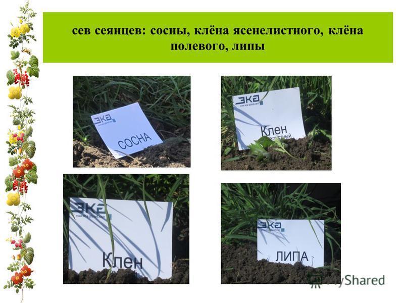 сев сеянцев: сосны, клёна ясенелистного, клёна полевого, липы