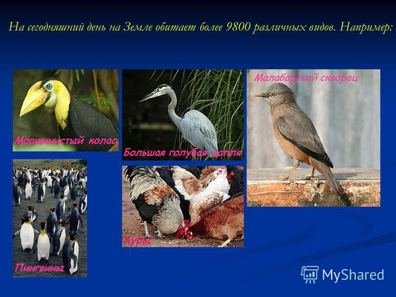 На сегодняшний день на Земле обитает более 9800 различных видов. Например: Морщинистый кола Пингвины Большая голубая цапля Малабарский скворец Куры
