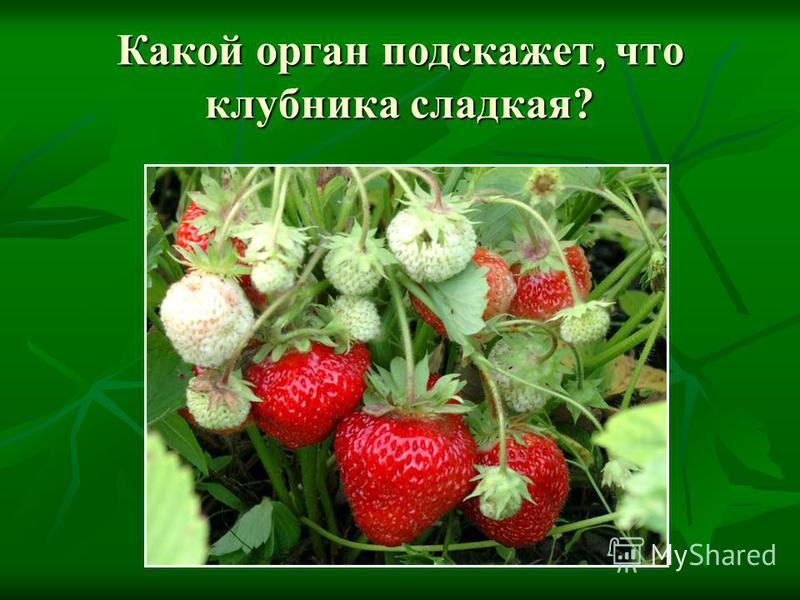 Какой орган подскажет, что клубника сладкая?