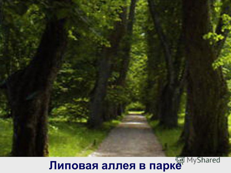 Липовая аллея в парке