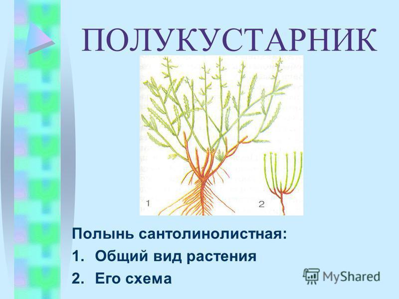 ПОЛУКУСТАРНИК Полынь сантолинолистная: 1. Общий вид растения 2. Его схема