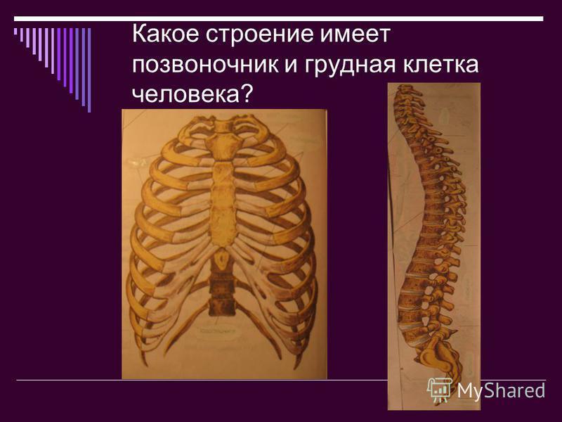 Какое строение имеет позвоночник и грудная клетка человека?