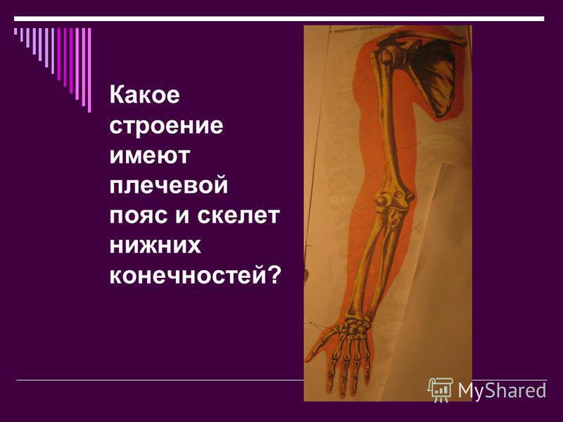 Какое строение имеют плечевой пояс и скелет нижних конечностей?