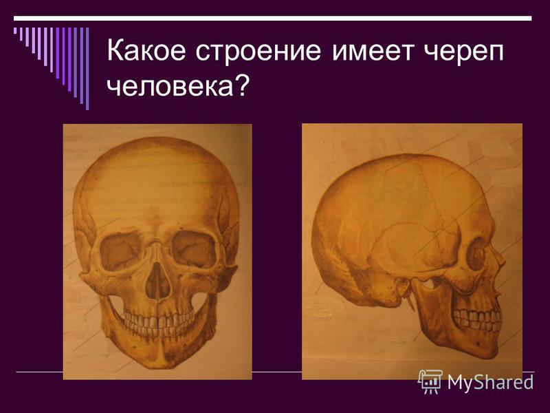 Какое строение имеет череп человека?
