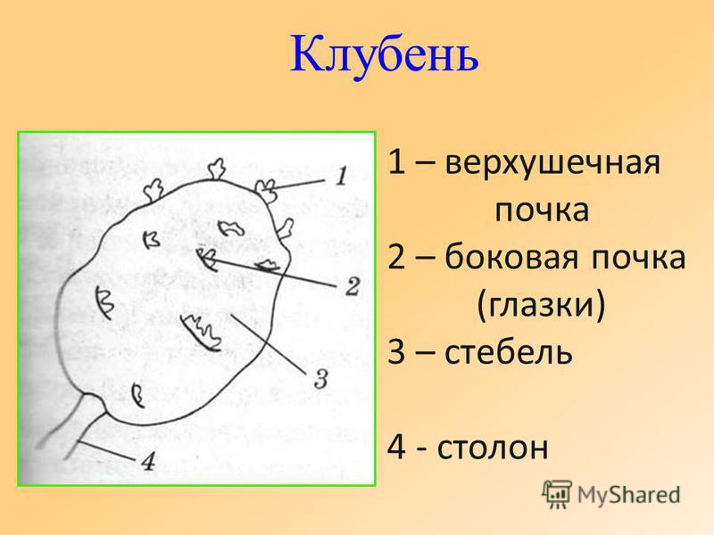 Клубень 1 – верхушечная почка 2 – боковая почка (глазки) 3 – стебель 4 - столон
