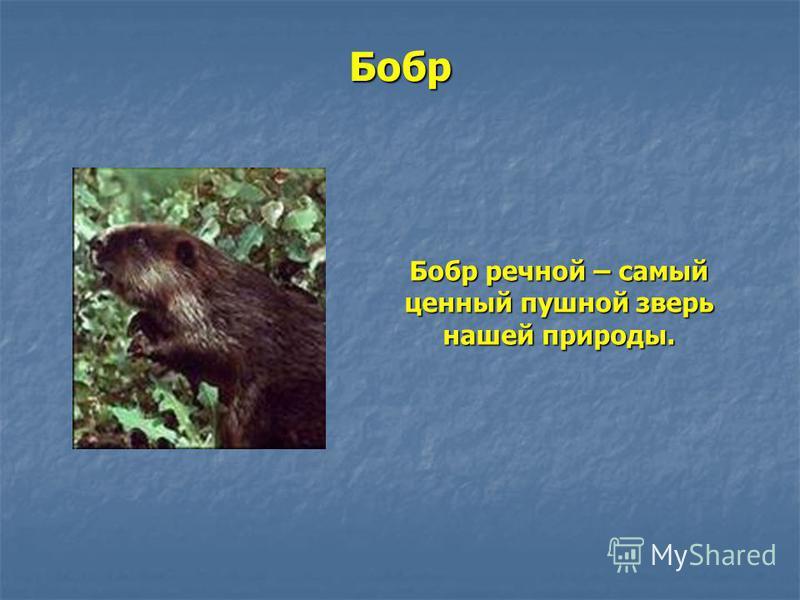 Бобр Бобр речной – самый ценный пушной зверь нашей природы.