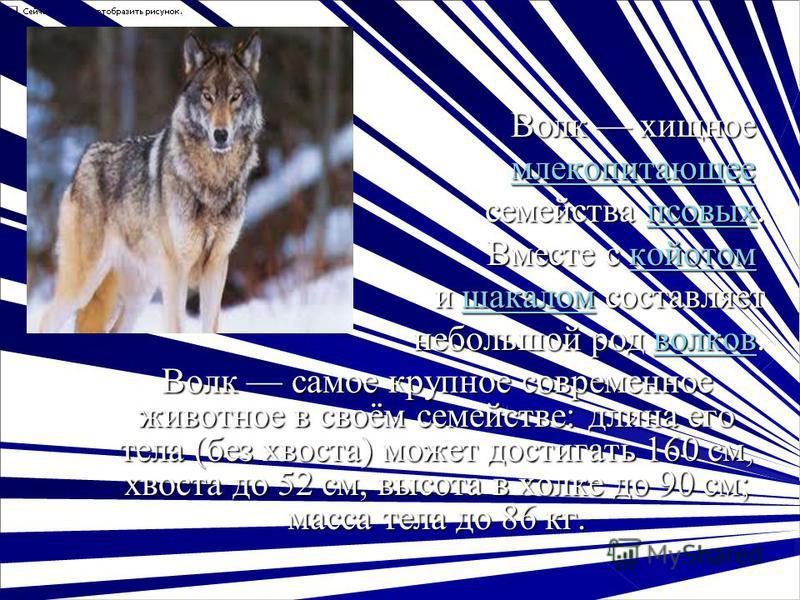 Волк хищное Волк хищное млекопитающее млекопитающее млекопитающее семейства псовых. псовых Вместе с койотом Вместе с койотом койотом и шакалом составляет и шакалом составляет шакалом небольшой род волков. волков Волк самое крупное современное животно