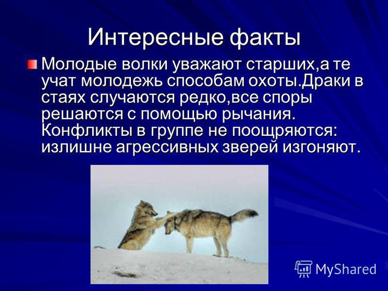 Интересные факты Молодые волки уважают старших,а те учат молодежь способам охоты.Драки в стаях случаются редко,все споры решаются с помощью рычания. Конфликты в группе не поощряются: излишне агрессивных зверей изгоняют.