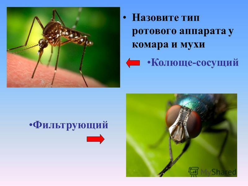 Назовите тип ротового аппарата у комара и мухи Колюще-сосущий Фильтрующий