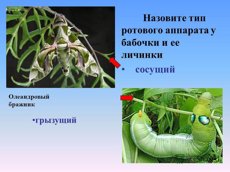 Назовите тип ротового аппарата у бабочки и ее личинки сосущий грызущий Олеандровый бражник