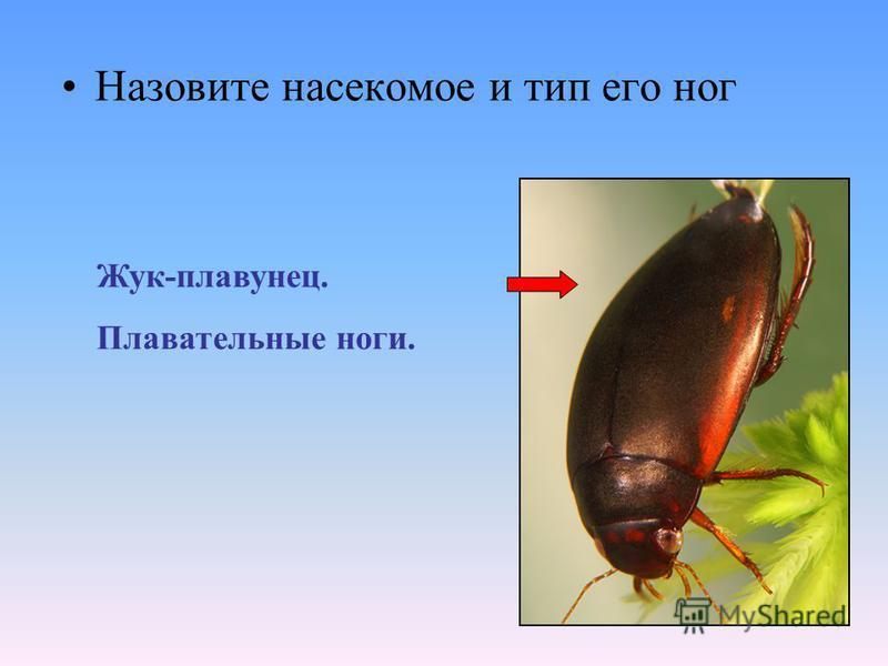 Назовите насекомое и тип его ног Жук-плавунец. Плавательные ноги.