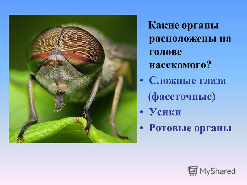Какие органы расположены на голове насекомого? Сложные глаза (фасеточные) Усики Ротовые органы