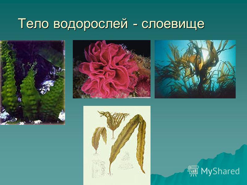 Тело водорослей - слоевище