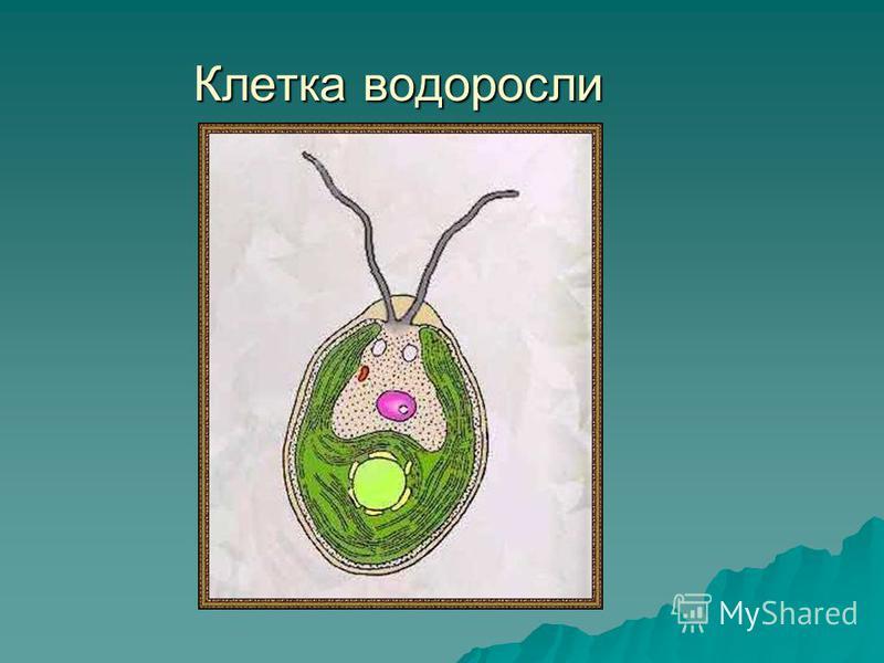 Клетка водоросли