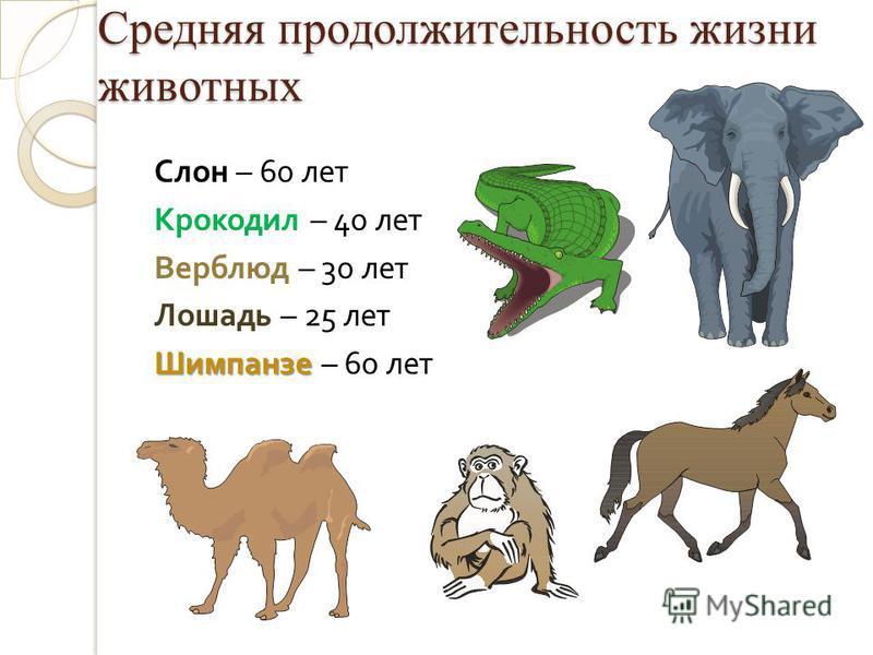 Средняя продолжительность жизни животных Слон – 60 лет Крокодил – 40 лет Верблюд – 30 лет Лошадь – 25 лет Шимпанзе Шимпанзе – 60 лет