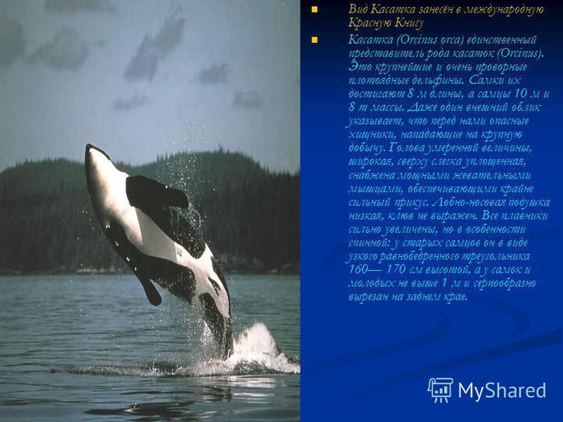 Вид Касатка занесён в международную Красную Книгу Касатка (Orcinus orca) единственный представитель рода касаток (Orcinus). Это крупнейшие и очень проворные плотоядные дельфины. Самки их достигают 8 м длины, а самцы 10 м и 8 т массы. Даже один внешни