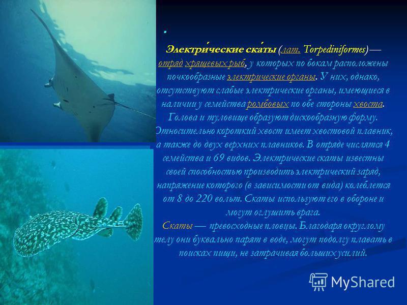 . Электрические скаты (лат. Torpediniformes) отряд хрящевых рыб, у которых по бокам расположены почкообразные электрические органы. У них, однако, отсутствуют слабые электрические органы, имеющиеся в наличии у семейства ромбовых по обе стороны хвоста