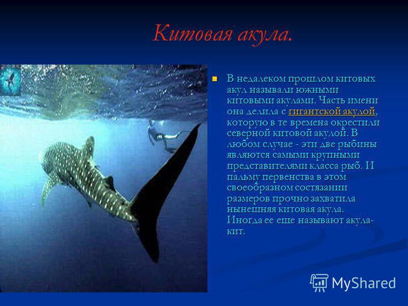 Китовая акула. В недалеком прошлом китовых акул называли южными китовыми акулами. Часть имени она делила с гигантской акулой, которую в те времена окрестили северной китовой акулой. В любом случае - эти две рыбины являются самыми крупными представите