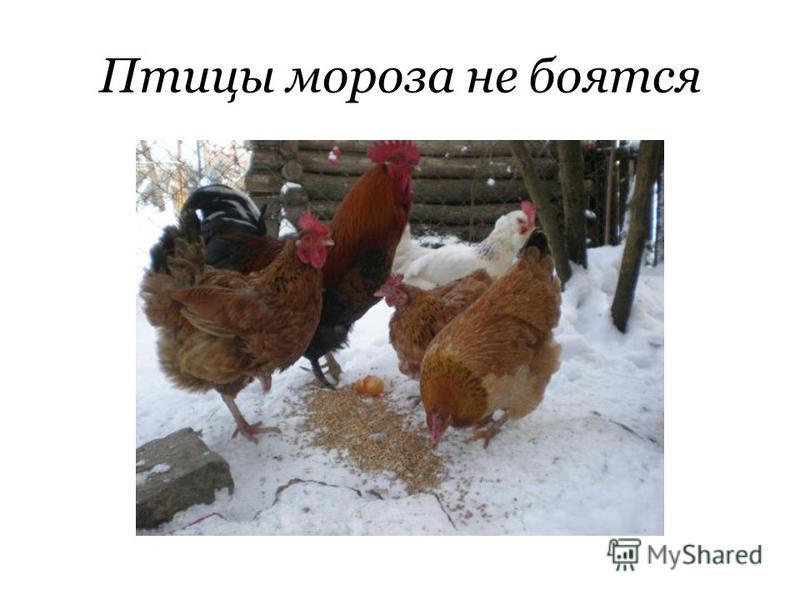 Птицы мороза не боятся