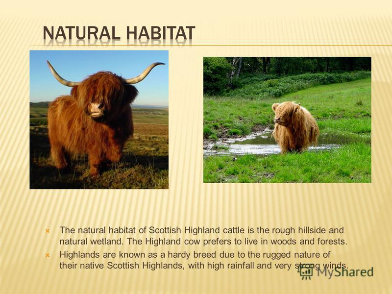 The natural habitat of Scottish Highland cattle is the rough hillside and natural wetland. The Highland cow prefers to live in woods and forests. Highlands are known as a hardy breed due to the rugged nature of their native Scottish Highlands, with h