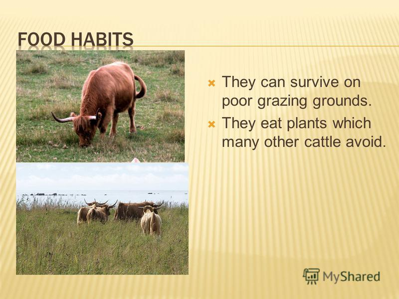 They can survive on poor grazing grounds. They eat plants which many other cattle avoid.
