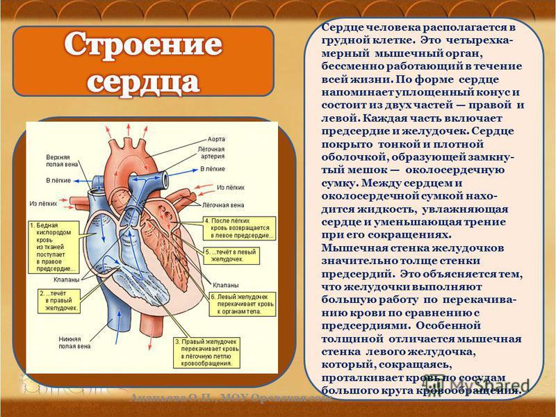 Сердце человека располагается в грудной клетке. Это четырехкамерный мышечный орган, бессменно работающий в течение всей жизни. По форме сердце напоминает уплощенный конус и состоит из двух частей правой и левой. Каждая часть включает предсердие и жел
