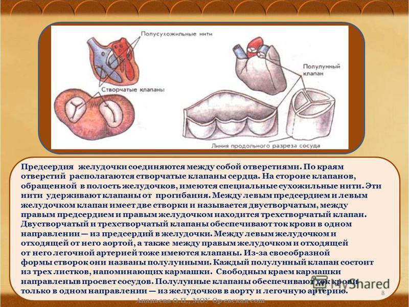 Предсердия желудочки соединяются между собой отверстиями. По краям отверстий располагаются створчатые клапаны сердца. На стороне клапанов, обращенной в полость желудочков, имеются специальные сухожильные нити. Эти нити удерживают клапаны от прогибани