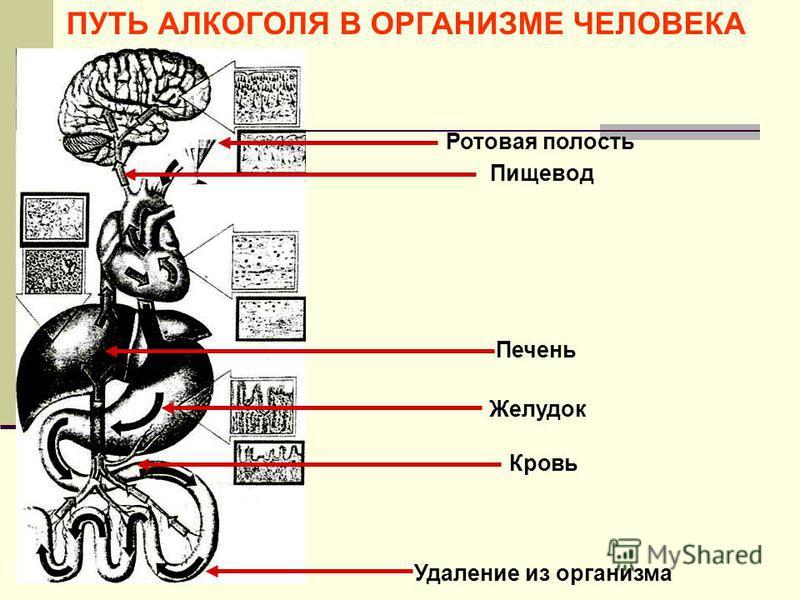 ПУТЬ АЛКОГОЛЯ В ОРГАНИЗМЕ ЧЕЛОВЕКА Ротовая полость Пищевод Желудок Кровь Печень Удаление из организма