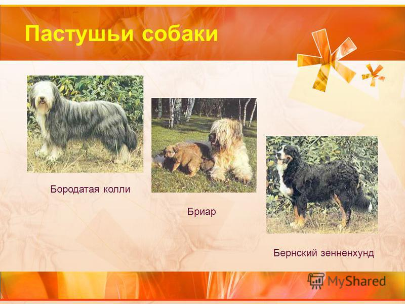 Пастушьи собаки Бородатая колли Бриар Бернский зенненхунд